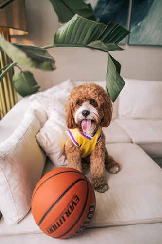 dog wearing a jersey and sitting by a basketball on a white sofa in Fayetteville AR